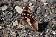 Apatura iris, Grand mars changeant (Le)