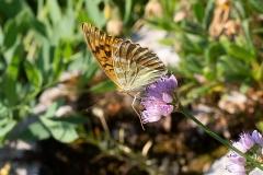 Argynnis paphia, Tabac d'Espagne (Le)