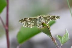 Carcharodus lavatherae, Hespérie de l'Épiaire (L')
