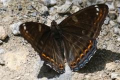 Limenitis populi ; Grand Sylvain (Le), Nymphale du Peuplier (La)