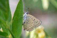 Lycaena tityrus, Cuivré fuligineux (Le)