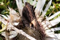Aglais urticae, Petite Tortue (La)