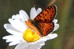 Melitaea didyma, Mélitée orangée (La)