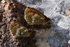 Melitaea varia, Mélitée de la Gentiane (La)