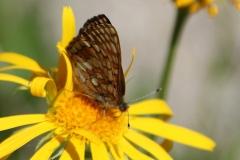 Euphydryas cynthia ; Damier de l'alchémille (Le), Mélitée alpestre (La), Damier dimorphe (Le)