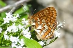 Euphydryas intermedia ; Damier du Chèvrefeuille (Le)