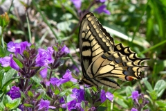 Papilio machaon, Machaon (Le)