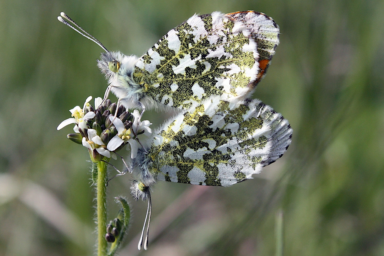 Anthocharis cardamines (mâle au-dessus), Aurore (L')
