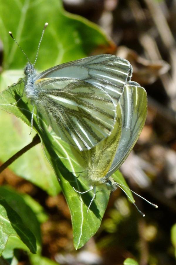Pieris napi ; Piéride du Navet (La), Papillon blanc veiné de vert (Le)