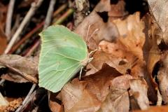 Gonepteryx rhamni, Citron (Le)