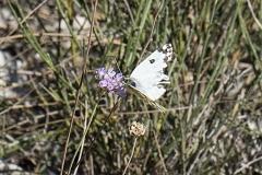 Pontia daplidice ou Pontia edusa, Marbré-de-vert (Le) ou Marbré de Fabricius