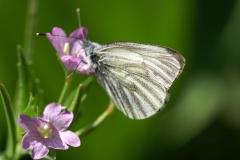 Pieris bryoniae, Piéride de l'Arabette (La)
