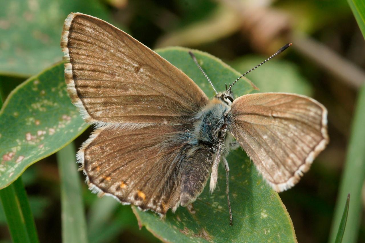 Lysandra coridon, Argus bleu-nacré (L')