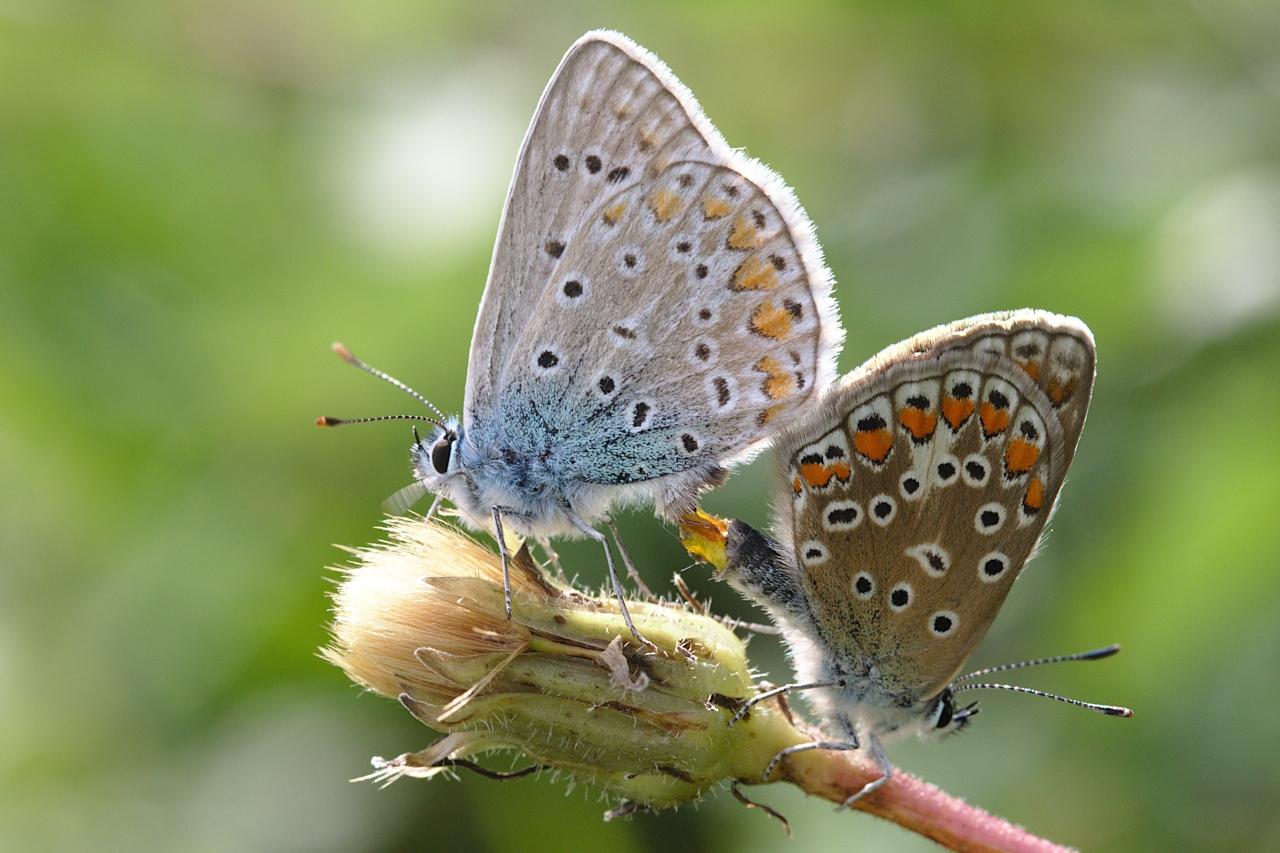 Polyommatus icarus ; Azuré de la Bugrane (L'), Argus bleu (L'), Azuré d'Icare (L'), Icare (L'), Lycène Icare (Le), Argus Icare (L')