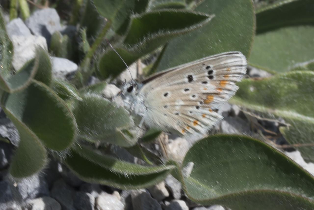 Polyommatus dorylas ; Azuré du Mélilot (L'), Argus turquoise (L'), Azuré (L')