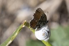 Cacyreus marshalli, Brun du pélargonium (Le)