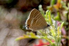 Lampides boeticus, Azuré porte-queue (L')
