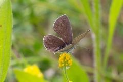 Cupido alcetas, Azuré de la Faucille (L')