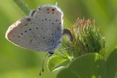 Cupido argiades ; Azuré du Trèfle (L'), Petit Porte-Queue (Le), Argus mini-queue (L'), Myrmidon (Le)
