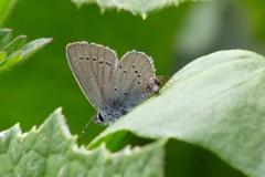 Cupido minimus, Argus frêle (L')