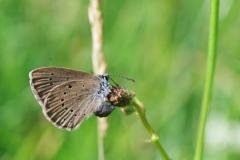 Phengaris teleius, femelle pondant ; Azuré de la Sanguisorbe (L'), Argus strié (L'), Télégone (Le), ©Photo Anselme Mahy