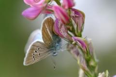 Mâle de Polyommatus damon sur Sainfouin, Sablé du Sainfoin (Le)