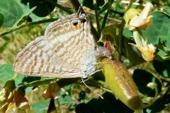 Lampides boeticus pondant sur du bagnaudier ; Azuré porte-queue (L'), Argus porte-queue (L'), Porte-Queue bleu strié (Le), Lycène du Baguenaudier (Le), Strié (Le)