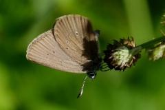 Phengaris nausithous, Azuré des paluds (L')
