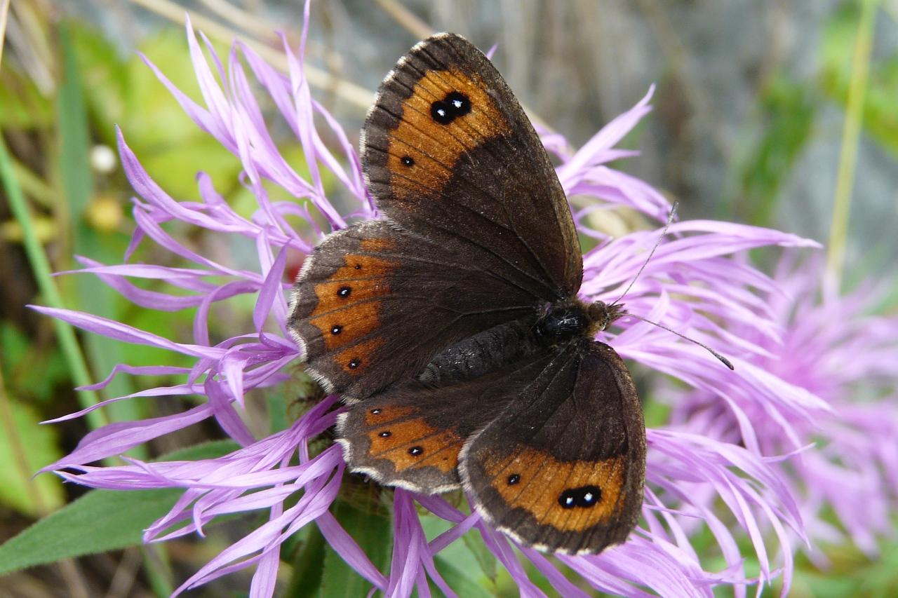 Erebia montana, Moiré striolé (Le)