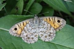 Mâle de Lasiommata megera, Satyre (Le)
