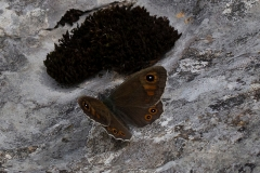 Lasiommata maera, Némusien (Le)