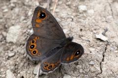 Lasiommata petropolitana, Gorgone (La)