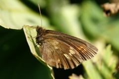 Erebia manto, Moiré variable (Le)