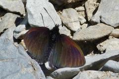 Erebia pluto ; Moiré velouté (Le), Moiré des glaciers (Le)