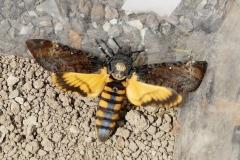 Acherontia atropos, Sphinx Tête-de-Mort (Le)