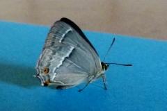 Quercusia quercus ; Thécla du Chêne (La), Porte-Queue bleu à une bande blanche (Le)