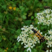 dsc01287-rutpela-maculata_dxo