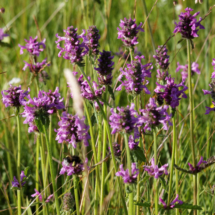 img_3991-stachys-palustris_dxo