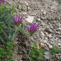 Astragalus_onobrychis_20170512_01