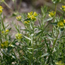 IMG_3826 Euphorbia serrata_DxO