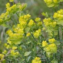 IMG_3827 Euphorbia serrata_DxO