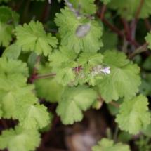 IMG_3830 Geranium rotundifolium_DxO