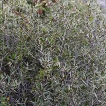 IMG_3836 Phillyrea angustifolia_DxO