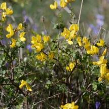 IMG_3837 Cytisophyllum sessilifolium_DxO