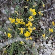 IMG_3853 Genista pulchela subsp. villarsii_DxO