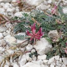 IMG_3871 Astragalus monspesulanus_DxO
