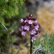 IMG_3886 Orchys purpureum_DxO