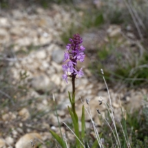 IMG_3990 Orchis mascula_DxO