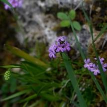 IMG_4038 Erinus alpinus et Tofielda calyculata_DxO (Copier)
