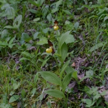 IMG_4049 Cypripedium calceolus _DxO (Copier)